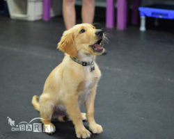 emBARK Beginner Obedience Real Life Rover Classes